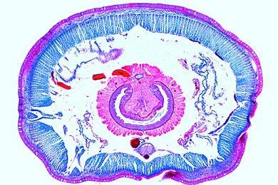 Mikropräparat - Lumbricus terrestris, Regenwurm, Körpermitte (Typhlosolisregion) mit Darm, Nephridien etc., quer