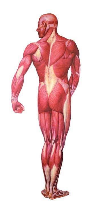 Anatomische Wandkarte Die Muskulatur, Rückseite