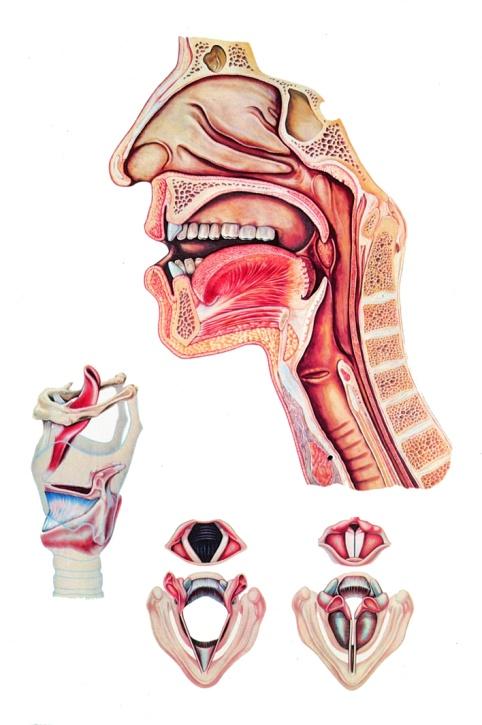 Anatomische Wandkarte Sprechorgane