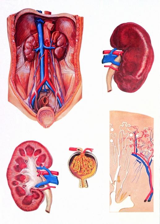 Anatomische Wandkarte Die Niere