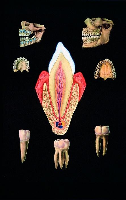 Anatomische Wandkarte Gesundes Gebiß