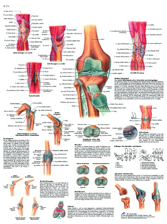 Anatomische Lehrtafel, Das Kniegelenk