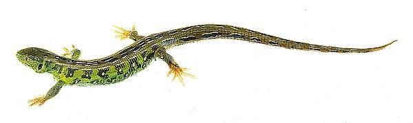 Modell Zauneidechse, männlich