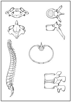 Skizzenblätter Biologie des Menschen, Teil I Bewegung, Lehrerexemplar